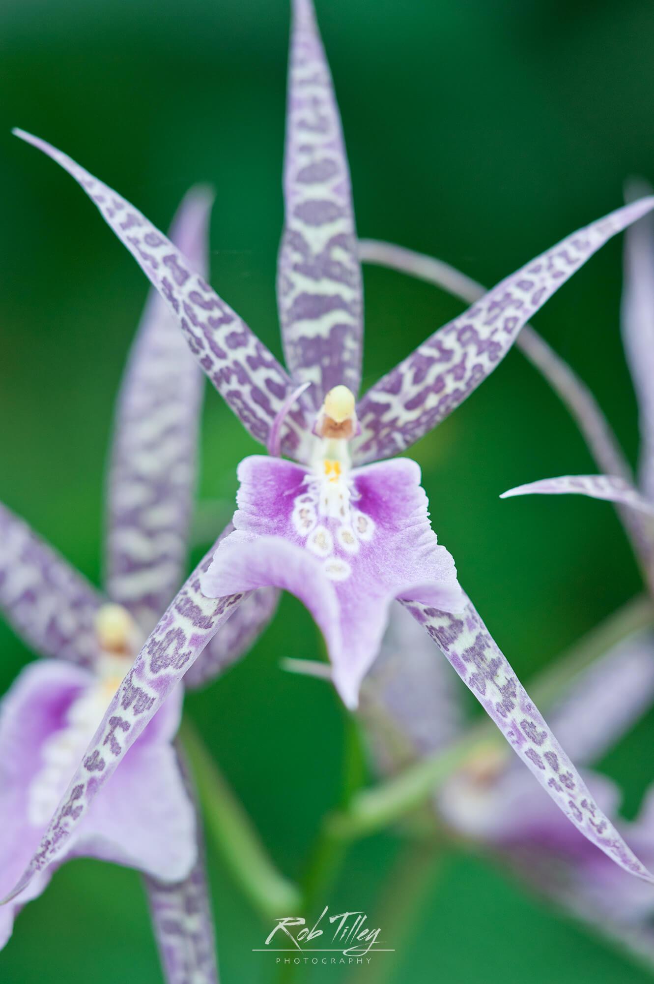 Orchid Face.jpg