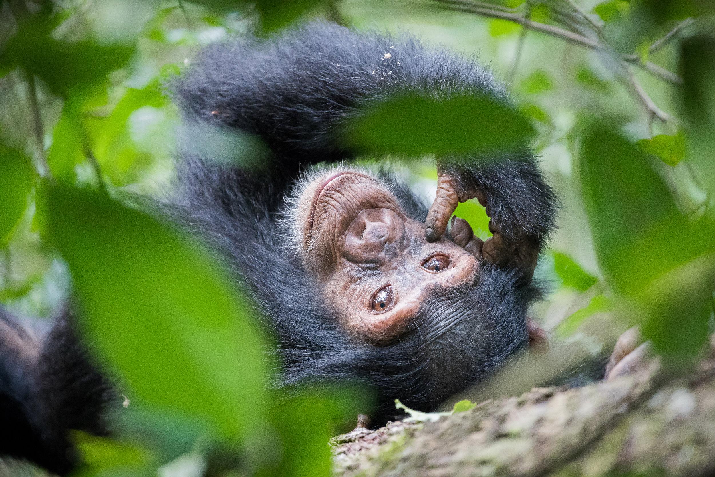 Scimpanzé locale
