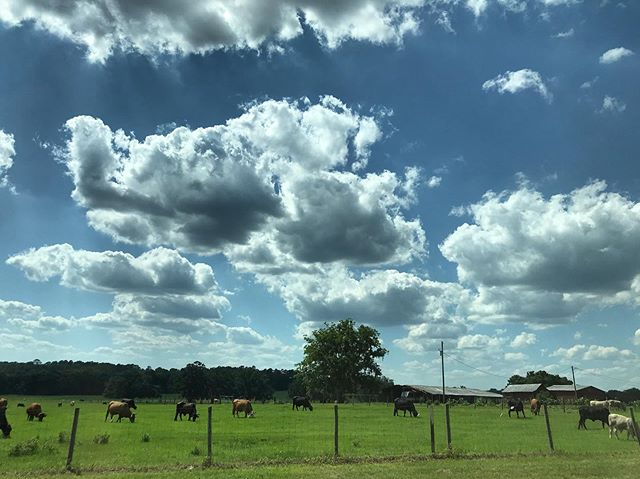 Saw some cows on a recent back-road drive around Gainesville 🐄