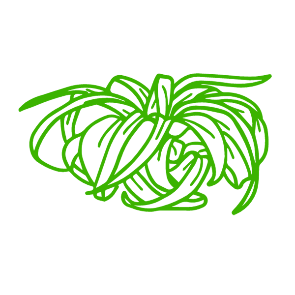 xerographica air plant1).png