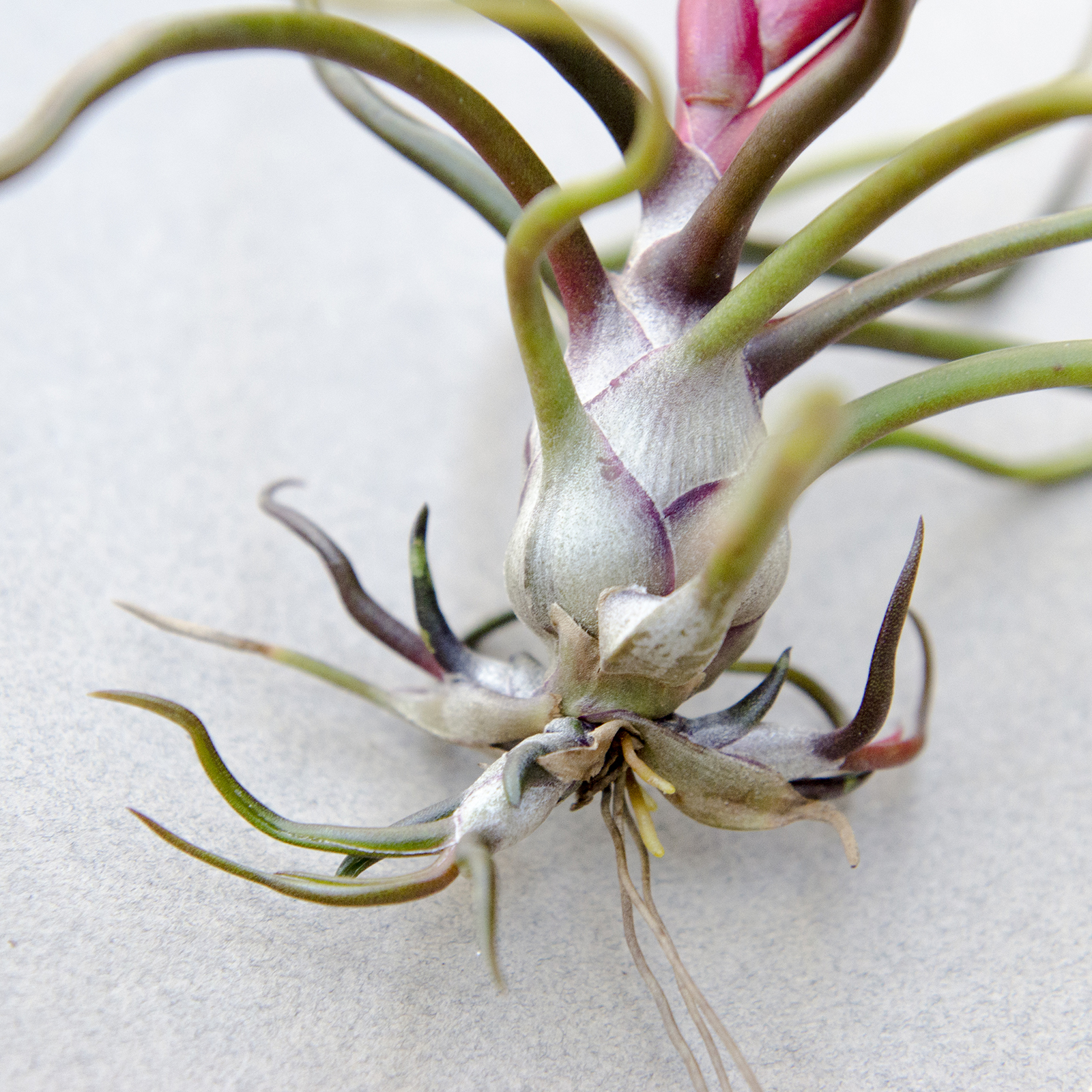 T. Bulbosa air plant producing three pups and flowering simultaneously.