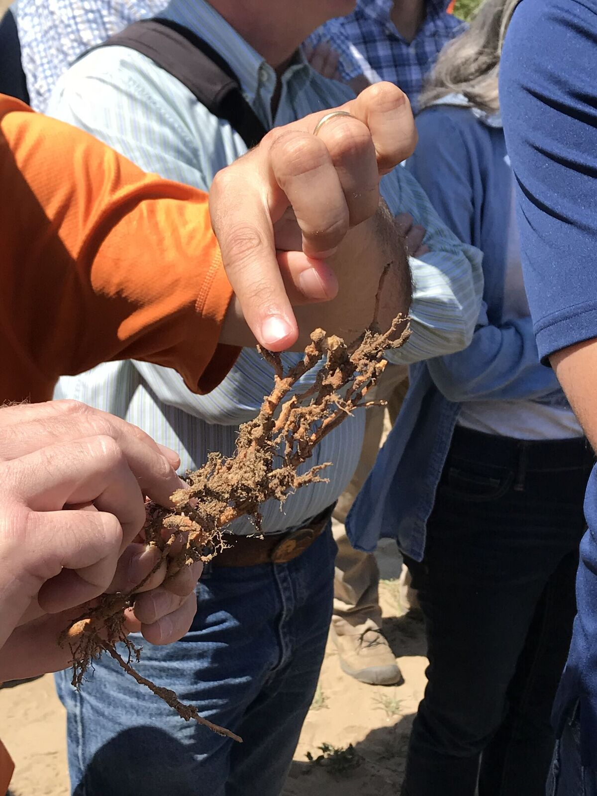 Peach root knot nematode roots L. Milliron.jpeg