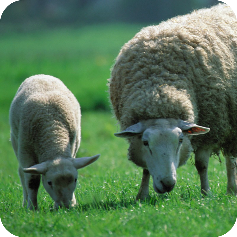 800x800-rounded-sheep-3.png