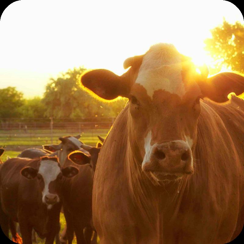 Beef cattle feeds - Tullyherron Farm Feeds