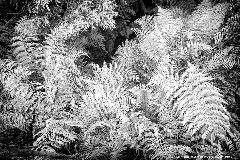 Ferns study in infrared by Robert Burcul