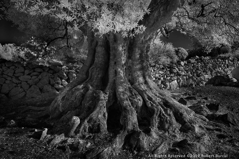 Olive_tree2.jpg