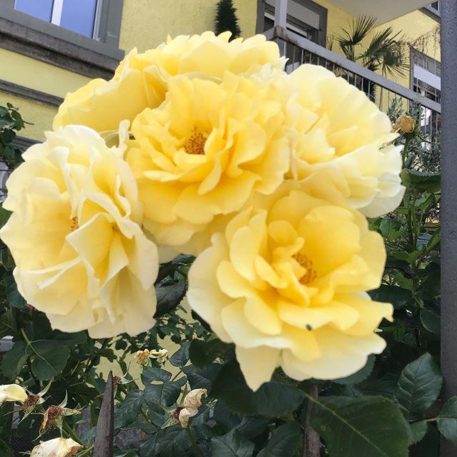 #rose #yellow #spiritmoments #nature is #beauty