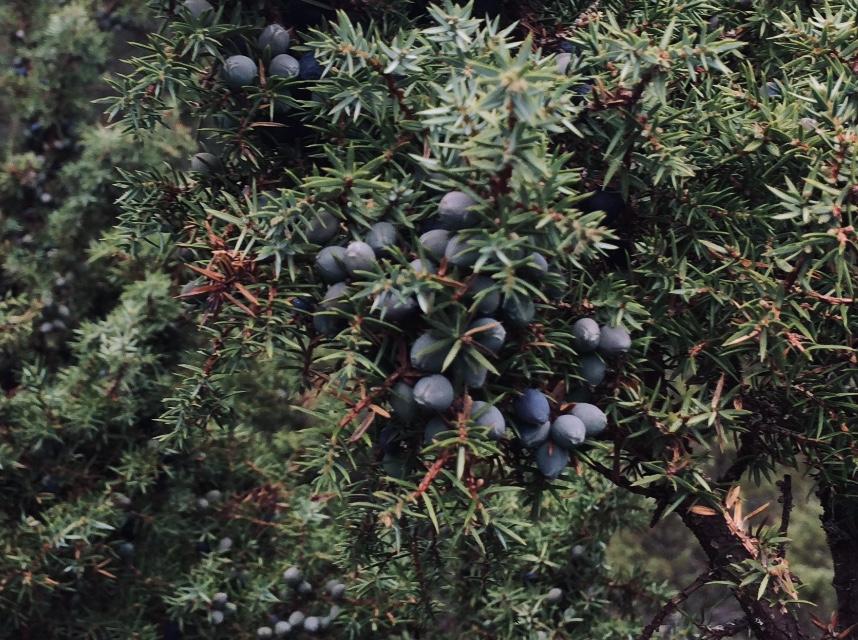 Juniper berry foraging.