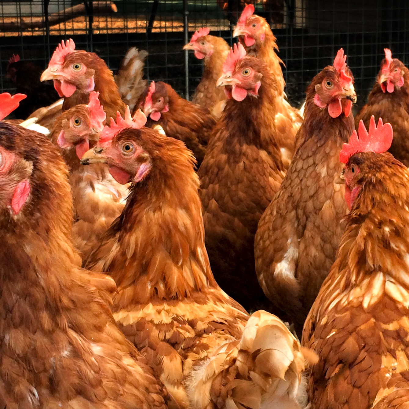Chickens crop 2.jpg