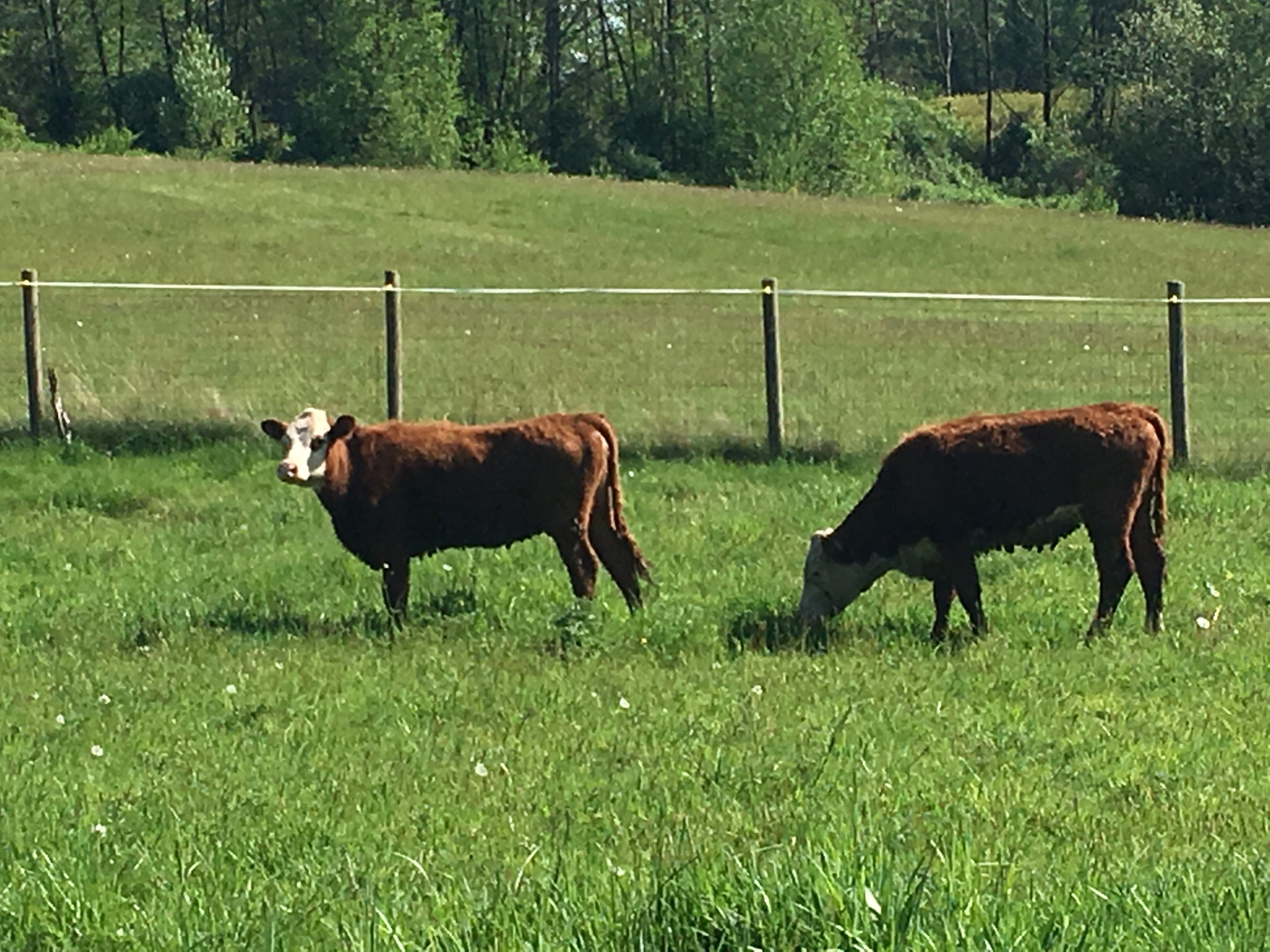 That cows should roam outdoors in a field, not in a feed lot! -