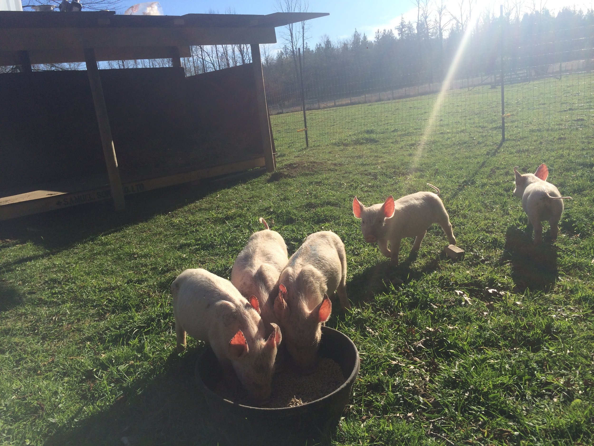 That pigs deserve to live in the light of day, outdoors, with other pigs to socialize with. -