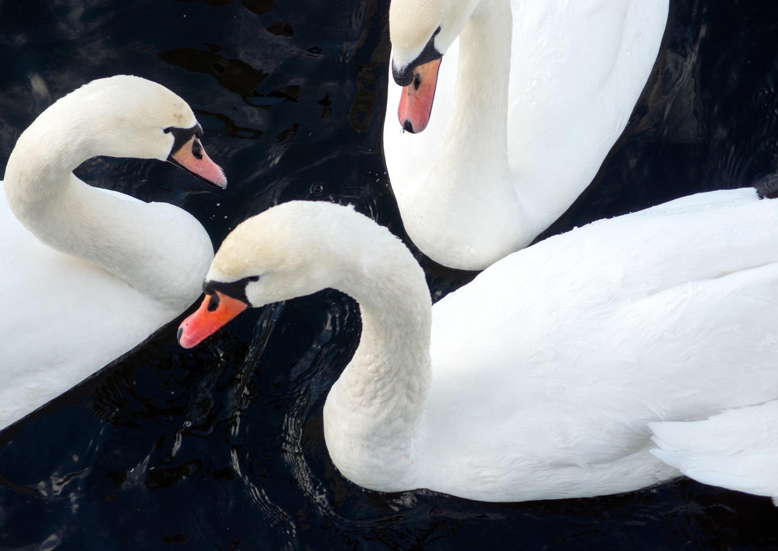 three-swans.jpg