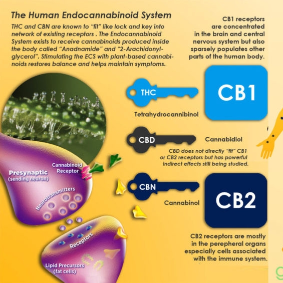 How Does CBD Work in Your Body? (Green Wellness)