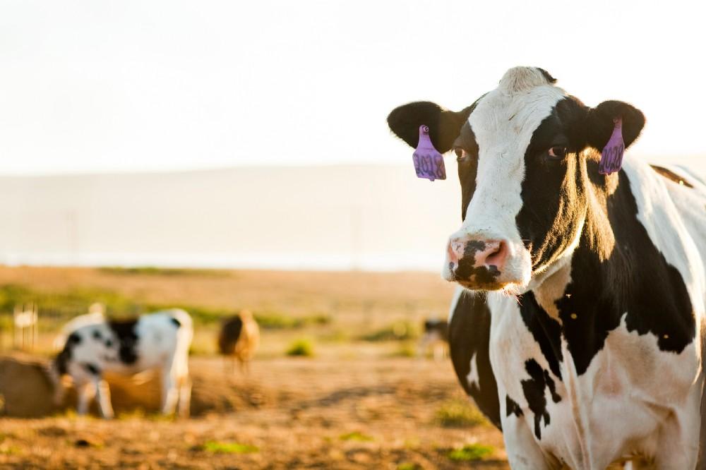 california-cows-good-eggs.jpeg