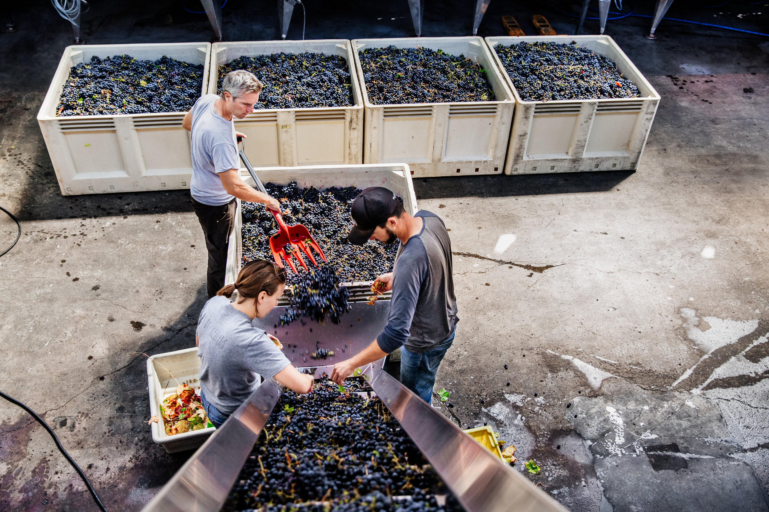 Workers sort grapes and pull leaves at an urban winery in the East Bay.