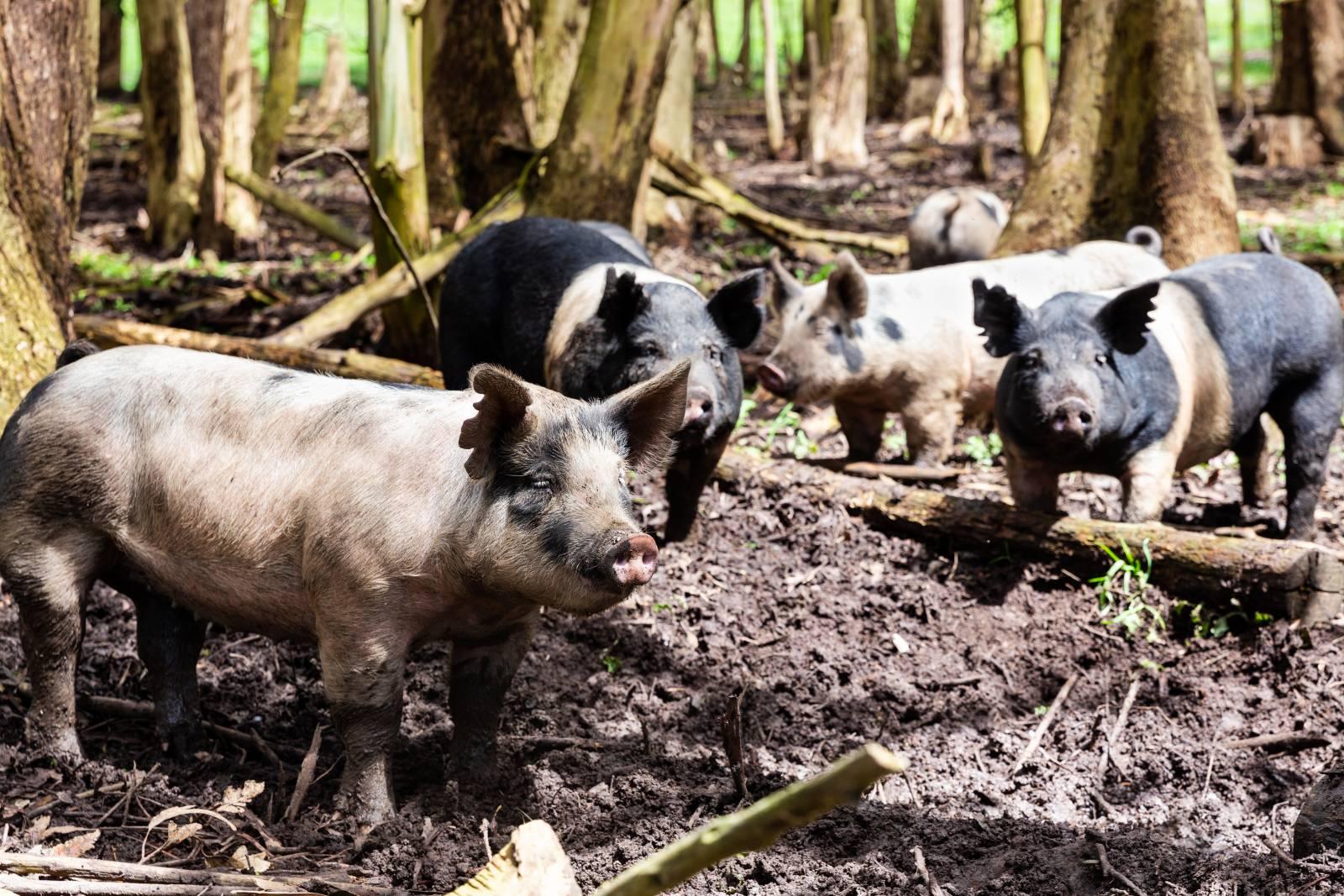stemple-creek-ranch-berkshire-pigs.jpg