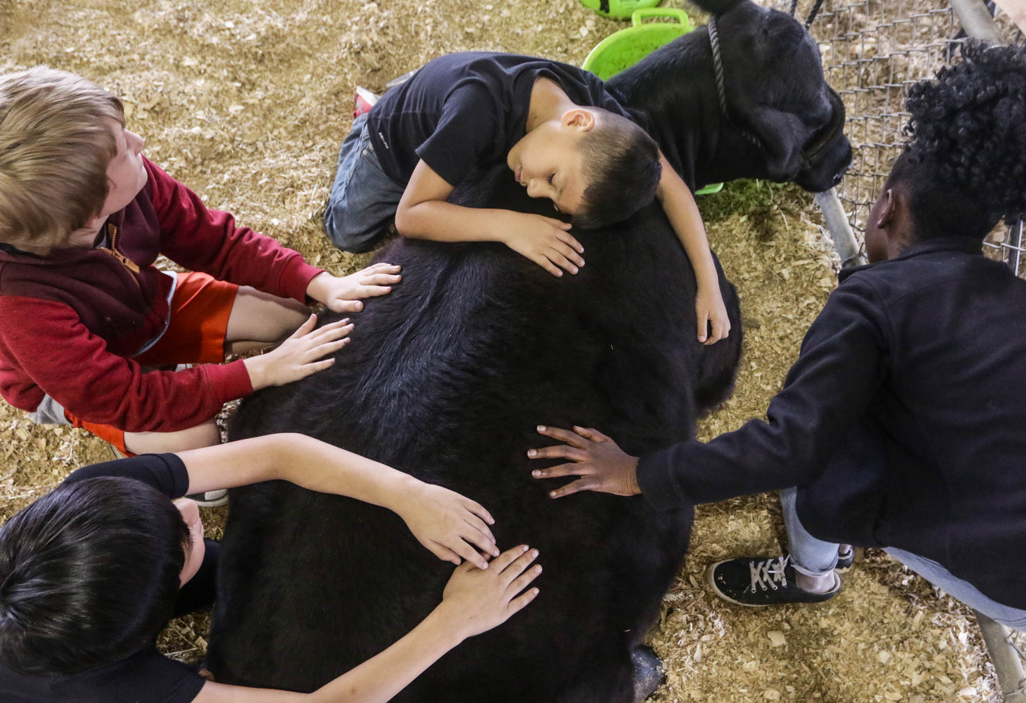 Jordan Saenz lays across a heifer alongside fellow Rowland Elementary School students during the Victoria County Farm Bureau 3rd annual Ag Day field trip at the Victoria Community Center in Victoria, Texas, on April 12, 2019.