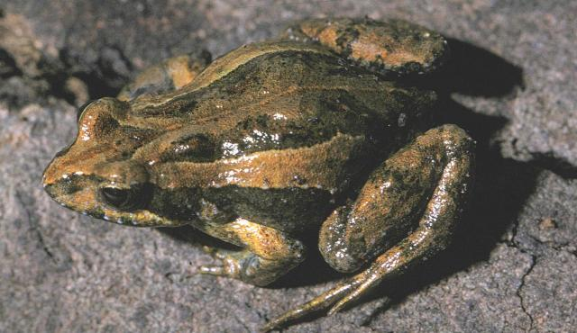 Common_Eastern_Froglet_02.jpg