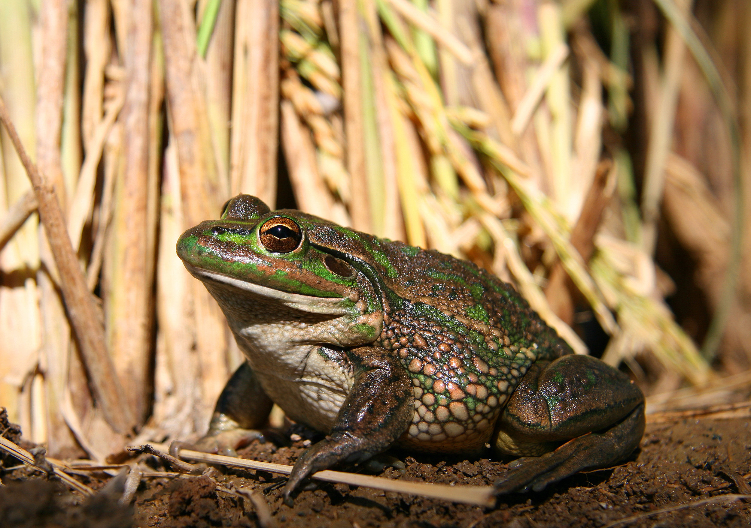 Southern Bell Frog Profile 5 MEG FILE DWebb.jpg