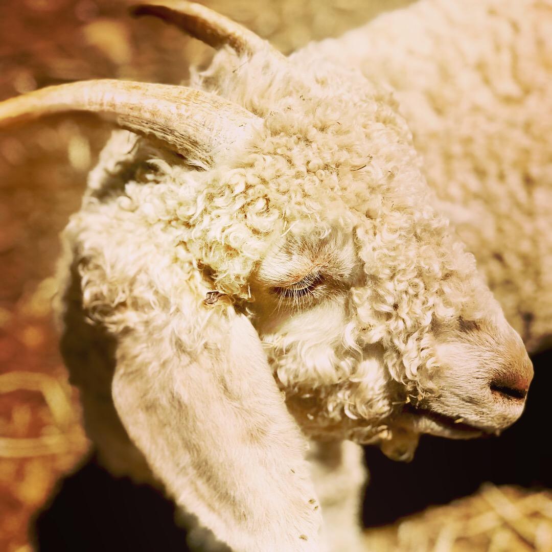 A menagerie of miniature livestock—alpacas, goats, sheep, and one potbelly pig.
