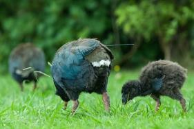 Further releases of takahe will bring the breeding pairs to a total of 20, the largest total outside Fiordland. Photo: MRT