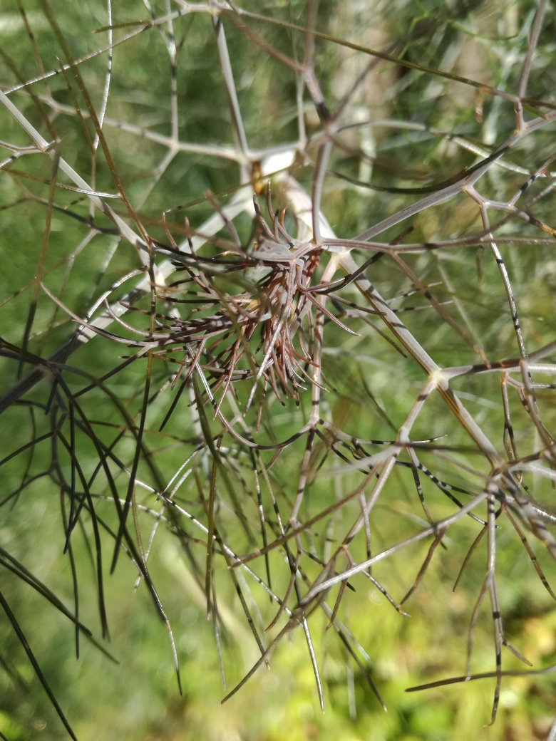 bronze fennel.jpg