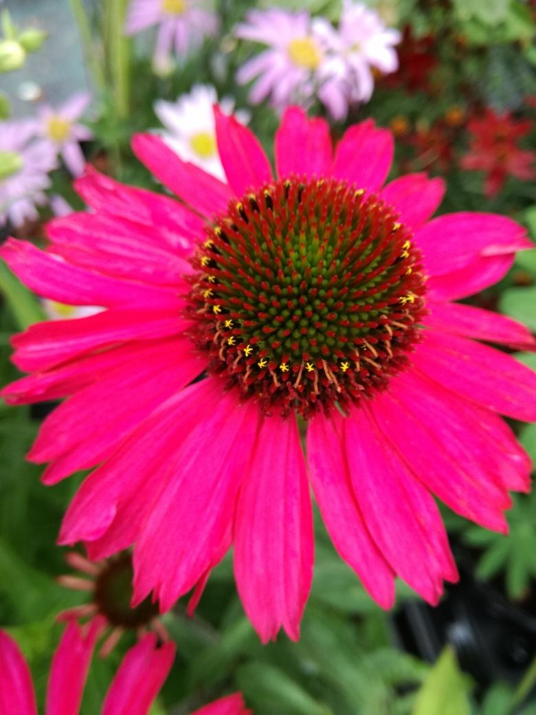 echinacea pink sensation.jpg