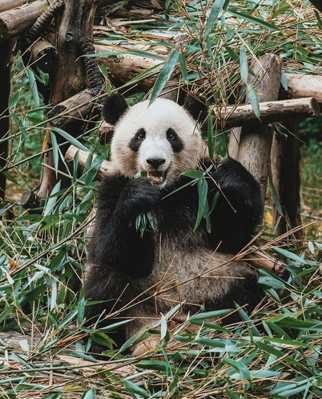 We are heading to Chengdu in a few weeks time and already dreaming of pandas, vegan hot pot and Temple House 📷 @joethomas @templehousecdu . . . #templehouse #panda #swirehotels #china #chengdu #condenast #besthotels