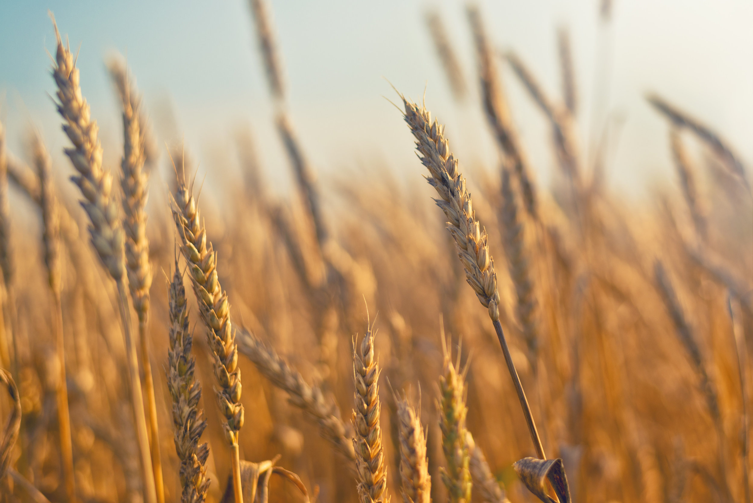 photodune-8197973-wheat-field-l.jpg