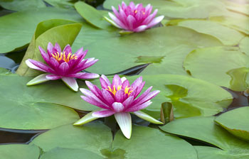 Beautifullotusflower.jpg