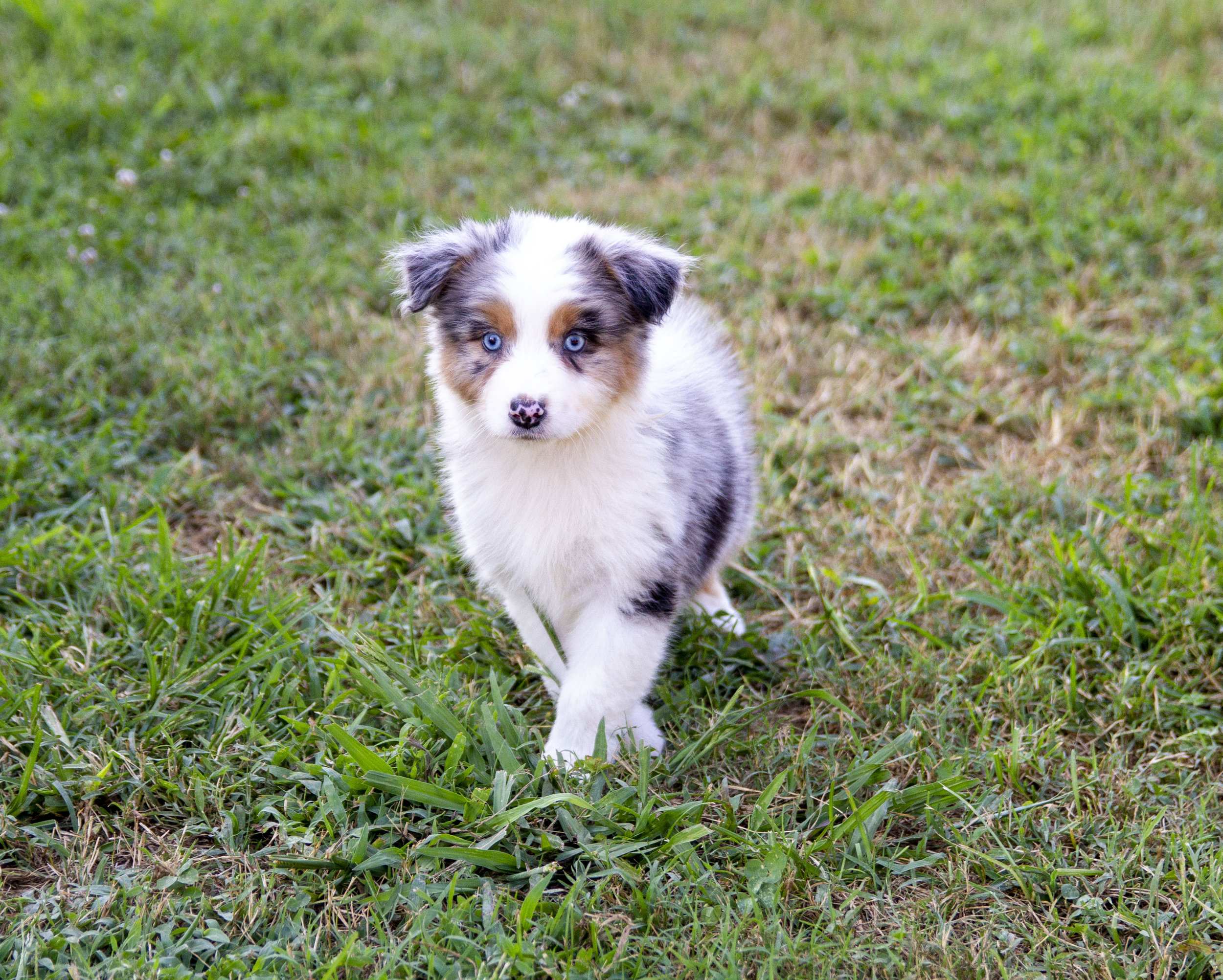 Price Kicking K Australian Shepherds