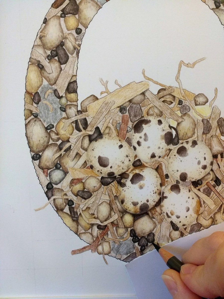 An illuminated letter Q being drawn in colour pencil. It is filled with a pattern of twigs, pebbles, and quail eggs.