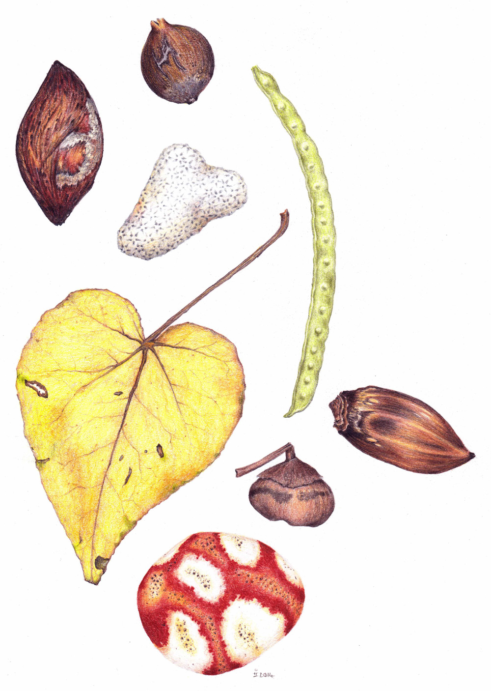 A colour pencil drawing of washed up tree seeds, fragments of coral, and a dead leaf