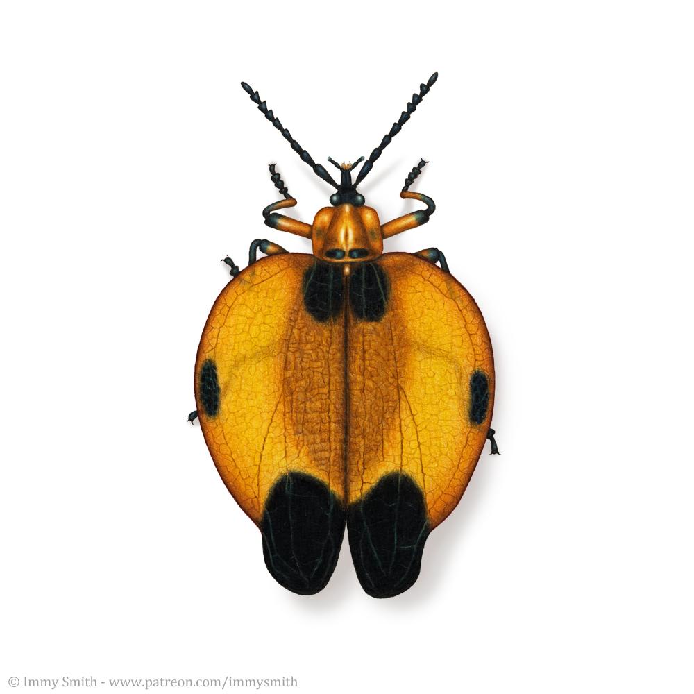 Net-winged beetle illustration