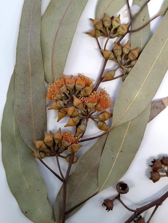 A dried herbarium specimen of a Eucalyptus tree foliage