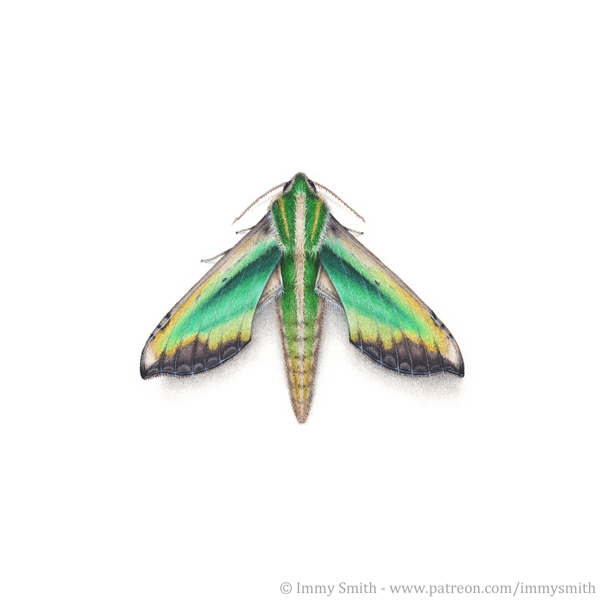 Image description; the green and brown hawkmoth Pergesa acteus, drawn in colour pencil.