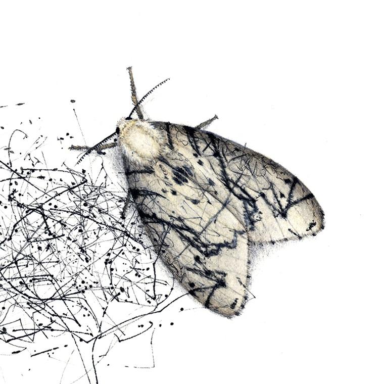 Studio-dwelling Lepidoptera - moths