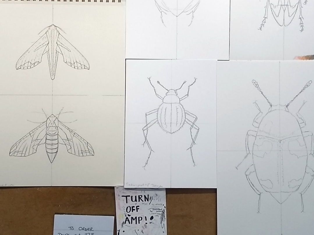 Image description; my drawing board, with many colour pencils blue-tacked to it, and covered in outline sketches of insects