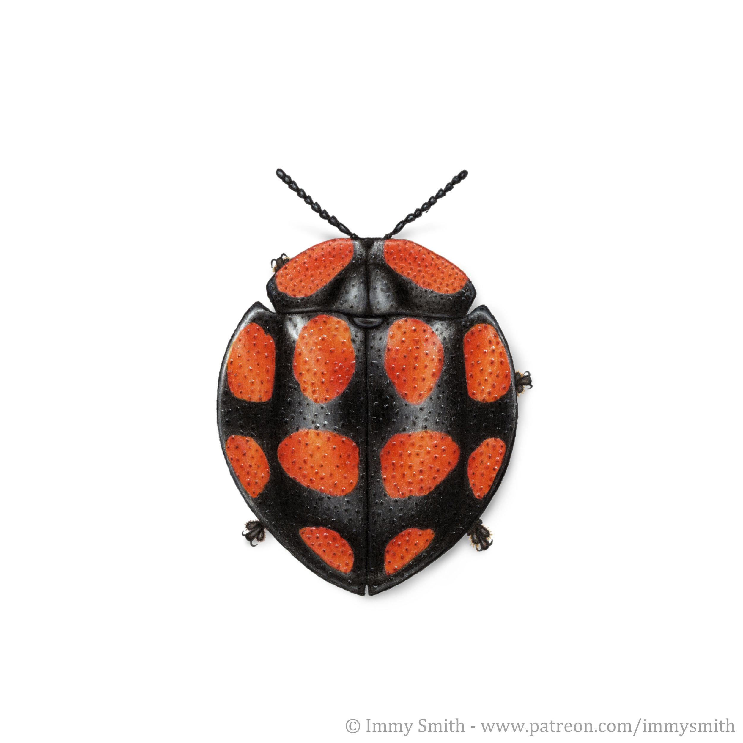 Image description; a black red-spotted tortoise beetle in the genus  Botanochara , drawn in colour pencil.