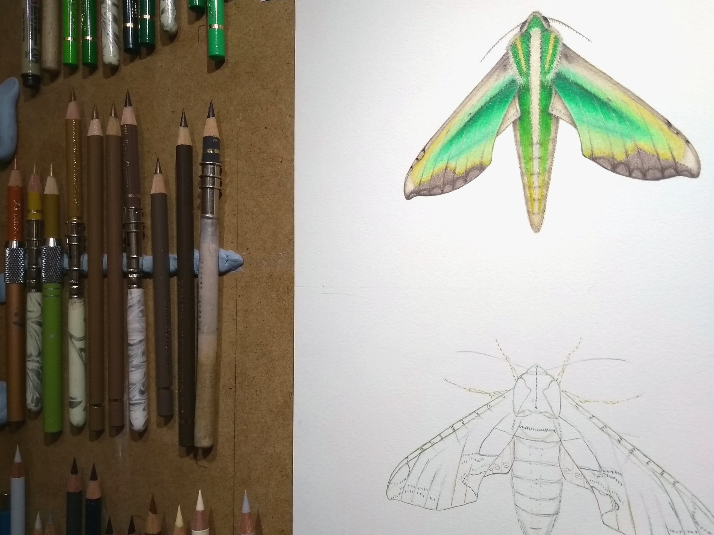 Image description; a full WIP series of a green and brown hawkmoth -  Pergesa acteus  - being drawn in colour pencil.