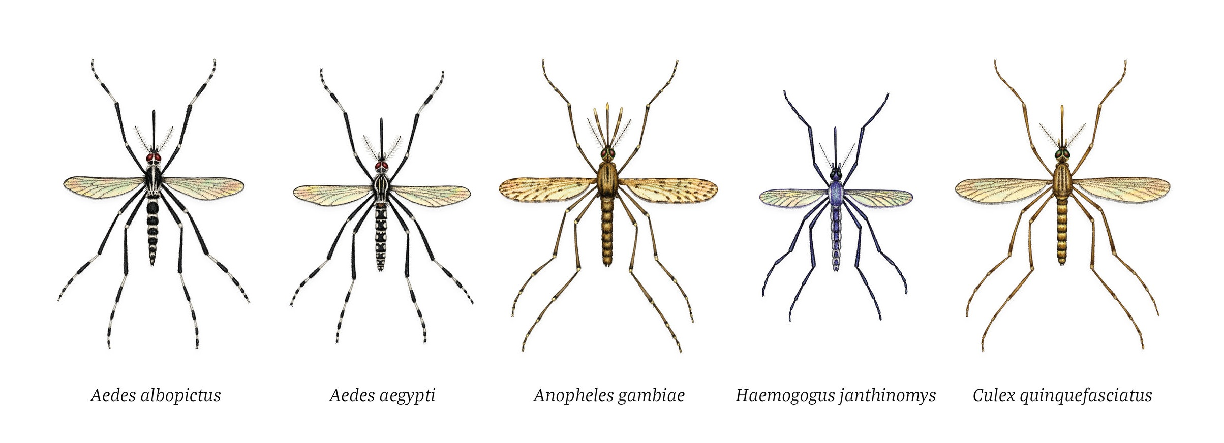 Medically significant mosquito species illustrations for Scientific American