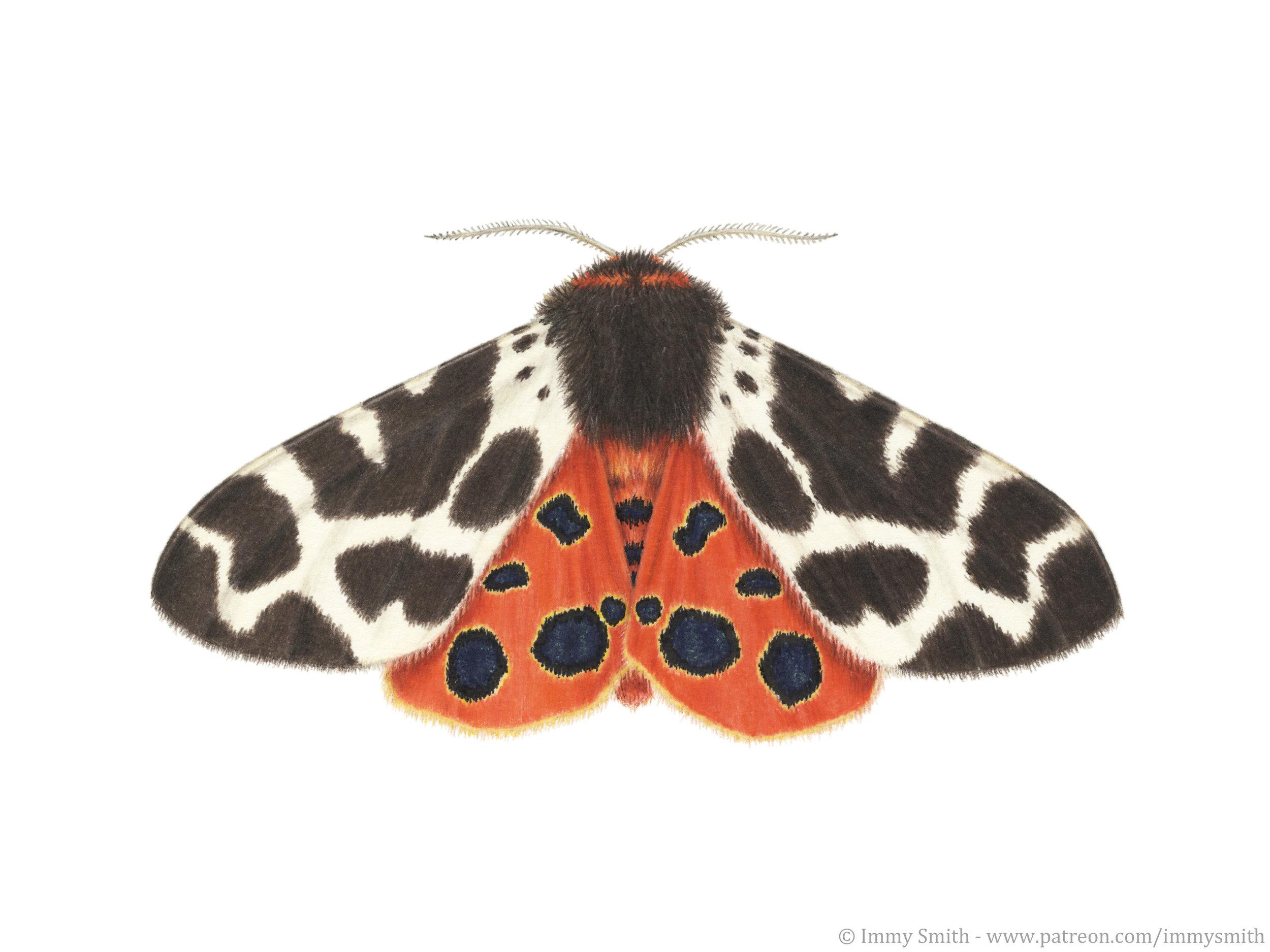 Image description; a colour pencil illustration of a garden tiger moth