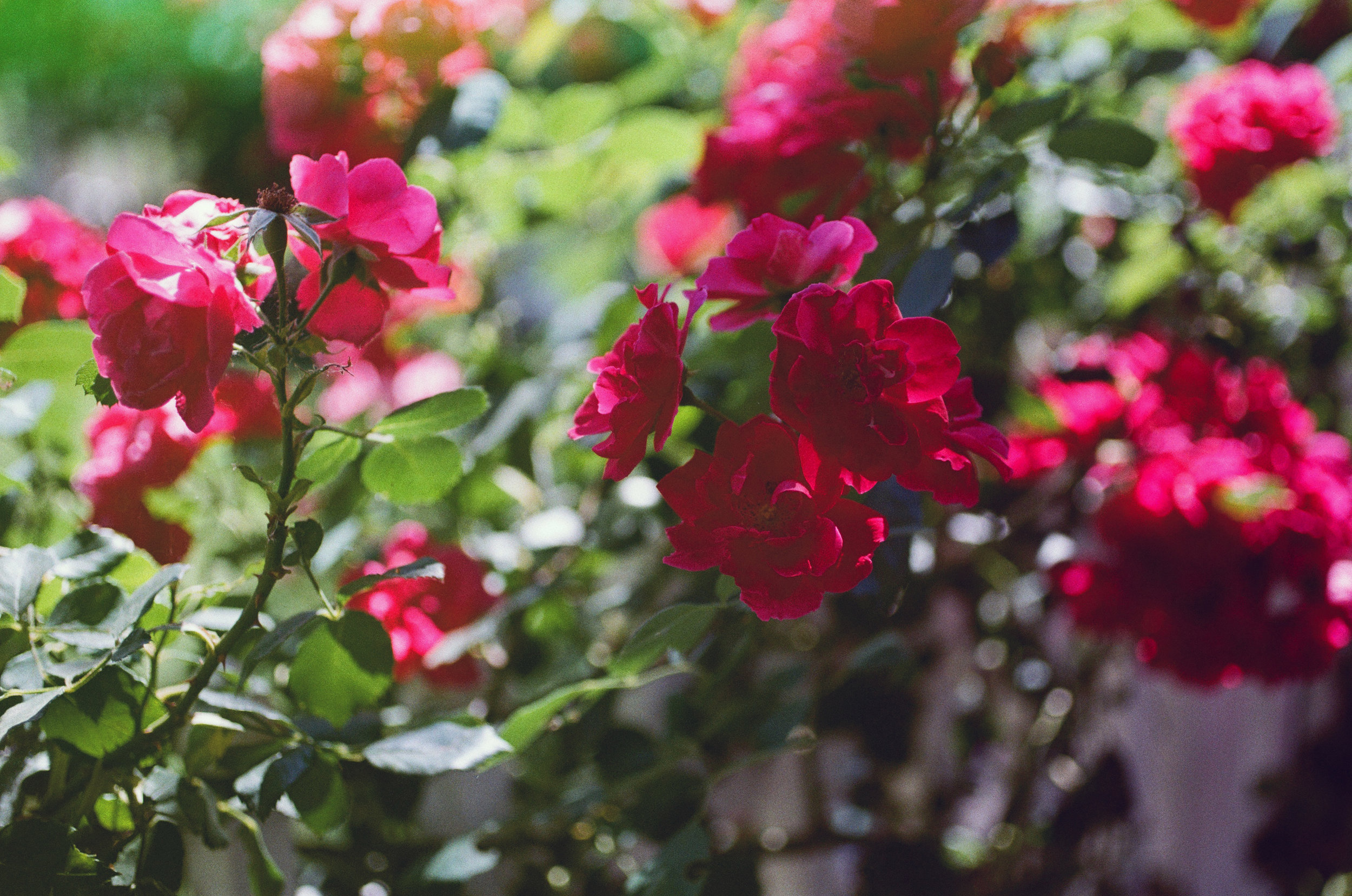 flowers-film-kodak-photography-revlog