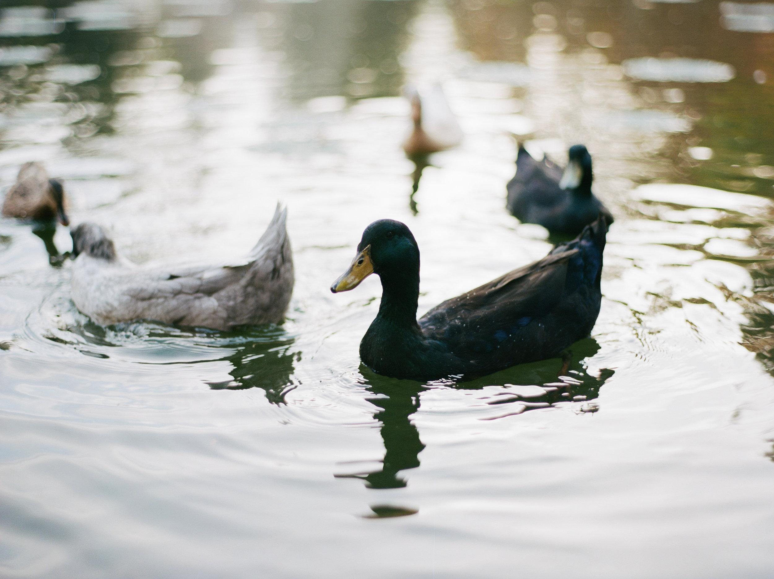 duckfeeding-3.jpg
