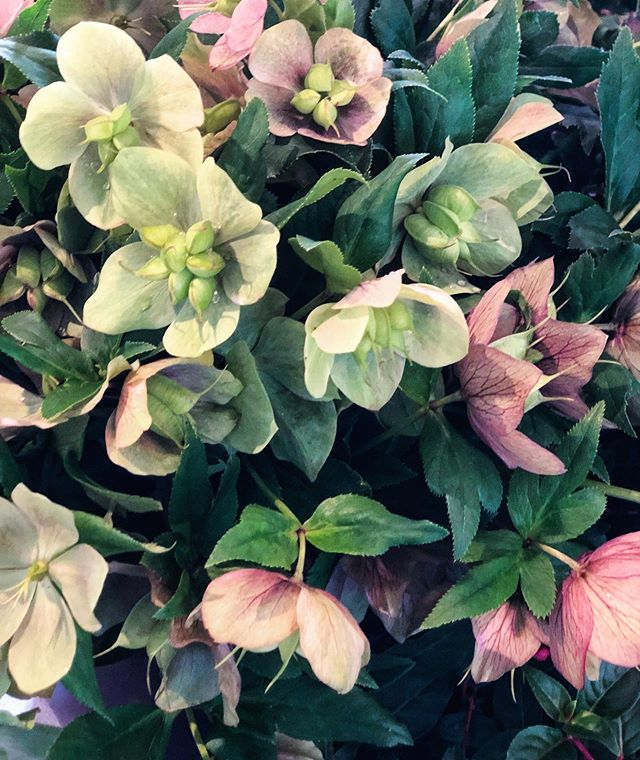 Give Monday HELLebore! - ****************** #talkbloomstome #wildehoneyblooms #wildehoney #justbloom #bloomloudly #beautyinthebloom #staywildehoney #saltlakecity #utah #saltlakecityflorists #flowers #floralarrangement #womenentrepreneur #bouquet #wedding #engagements #bridals #bloom #hellebore #flowers #greenery #flowerfriends #supportlocal