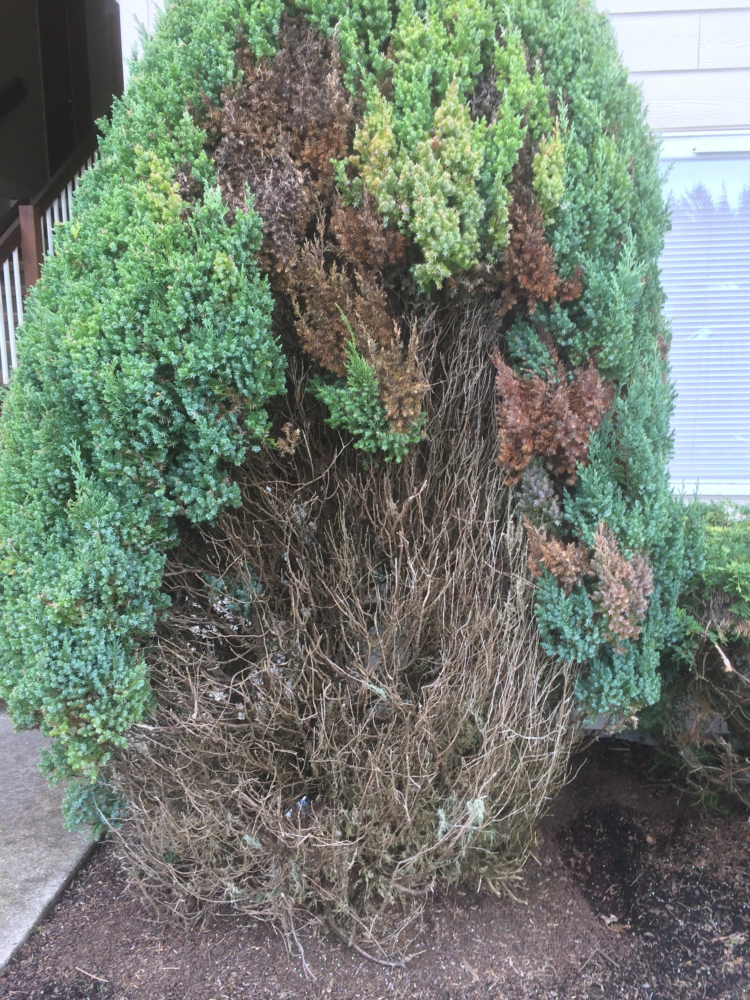 shrub-disease.jpeg