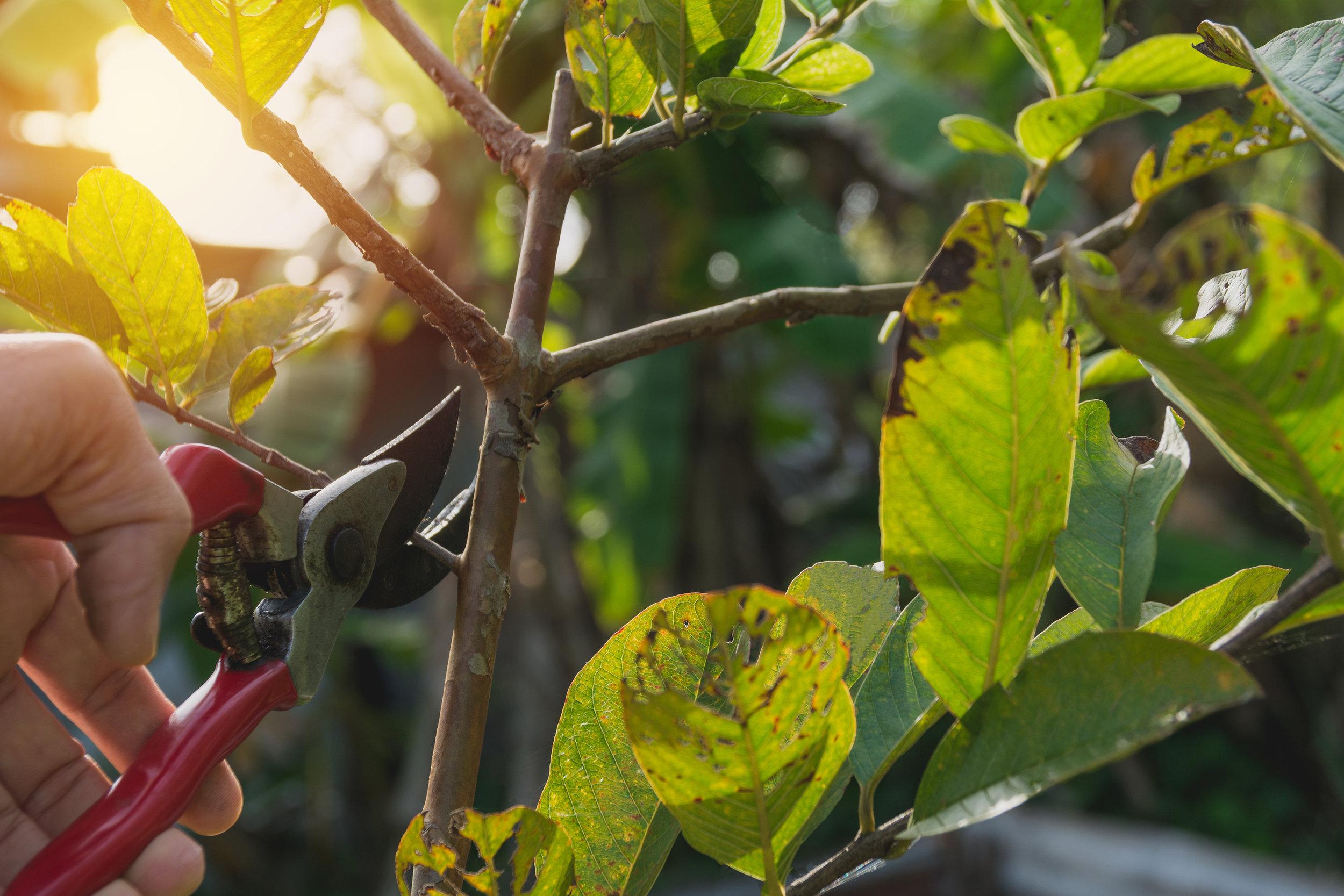 tree-prune.jpg