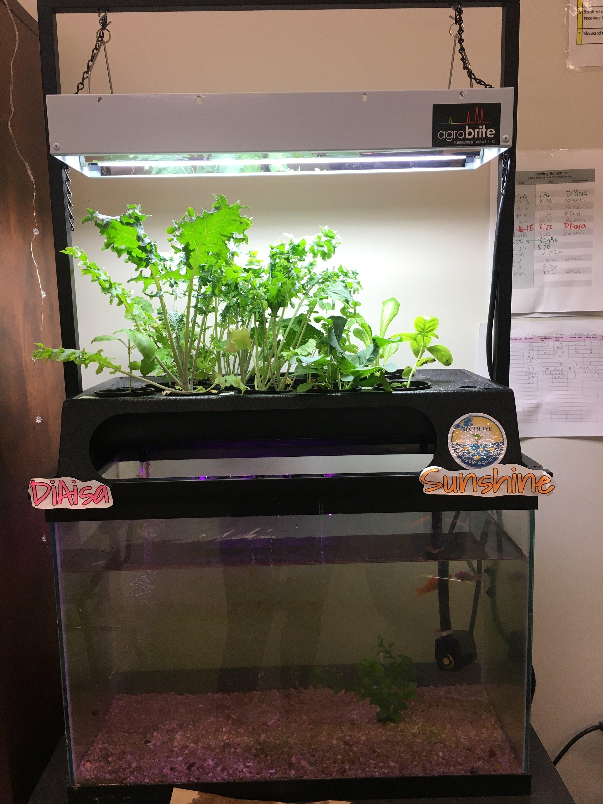 Aquaponics Tank in the Classroom