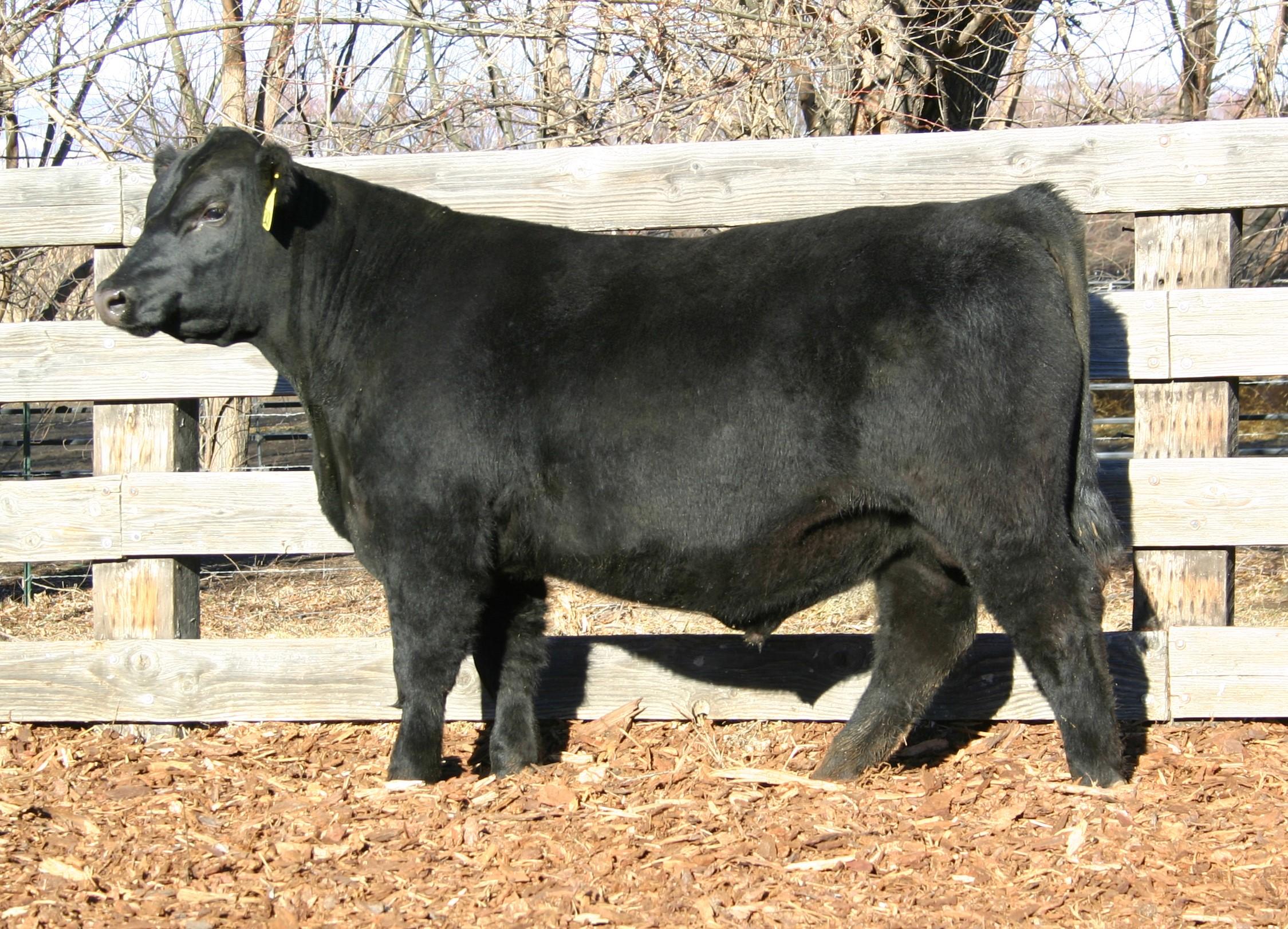 High selling bull of 2014 - sold to Dennis Ankeny - Arlington, Washington
