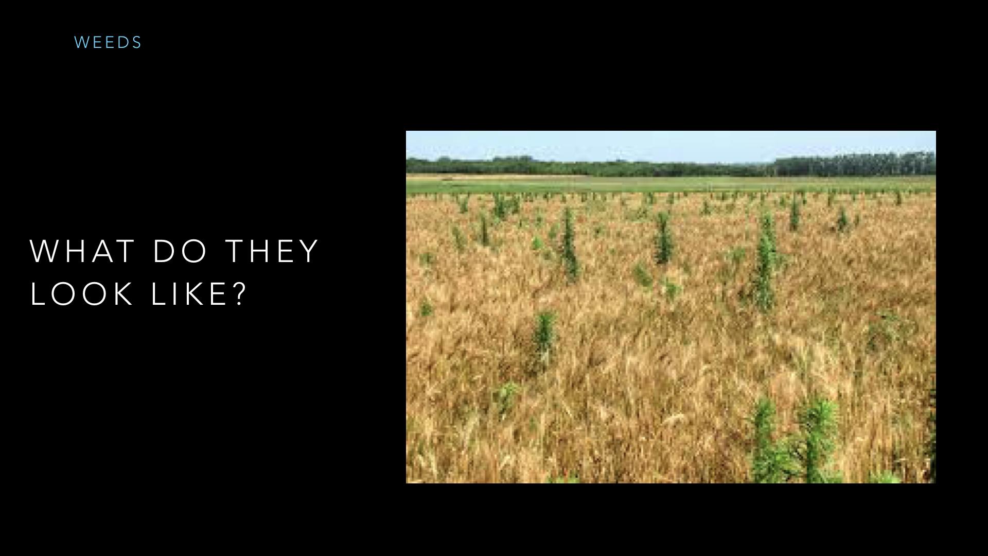 Parables - Weeds - SV - Sept19.011.jpeg